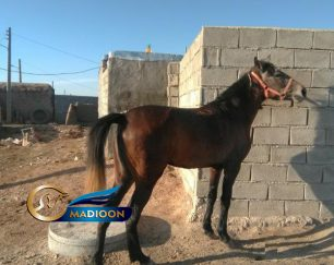خرید اسب و فروش اسب_ مادیون کرد خالص