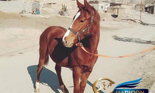 خرید اسب و فروش اسب_ مادیون دوخون