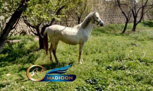 خرید اسب و فروش اسب_ اسب کرد قشقایی