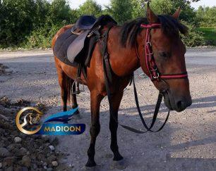 خرید اسب و فروش اسب_ اسب نریان