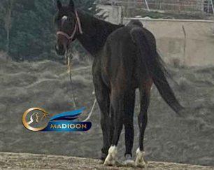 خرید اسب و فروش اسب_سیلمی دوخون