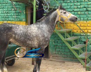 خرید اسب و فروش اسب_ رزمیا الهام