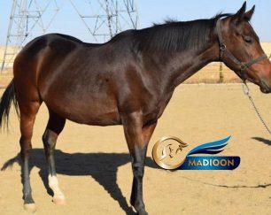 خرید اسب و فروش اسب_مادیون تروبرد