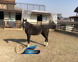 خرید اسب و فروش اسب_لاریسا