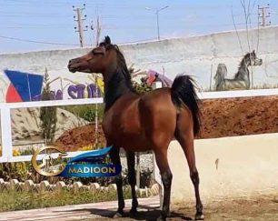 خرید اسب و فروش اسب_ مادیان عرب مصری