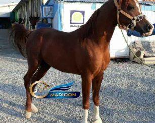خرید اسب و فروش اسب_ اسب نریان عرب
