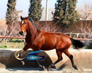خرید اسب و فروش اسب_اسب پرشی دوسر خارجی