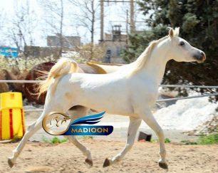 خرید اسب و فروش اسب_سیلمی عرب مصری
