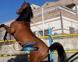 خرید اسب و فروش اسب_ شورش