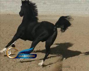 خرید اسب و فروش اسب_ کری