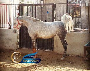 خرید اسب و فروش اسب_مادیون عرب خالص