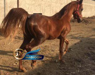 خرید اسب و فروش اسب_ اسب اصیل عرب