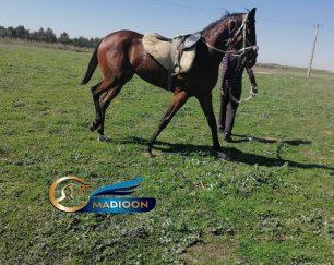خرید اسب و فروش اسب_ مادیون کورس