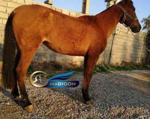 خرید اسب و فروش اسب_ گل سلحشور