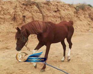 خرید اسب و فروش اسب_ اسب عرب خالص
