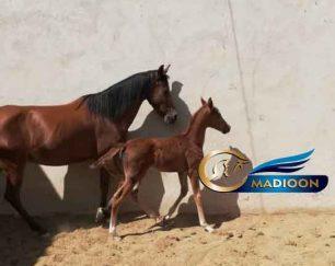 خرید اسب و فروش اسب- مادیون عرب به همراه کره