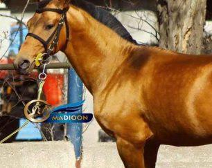 خرید اسب و فروش اسب_ سیلمی ترکمن آخال تکه