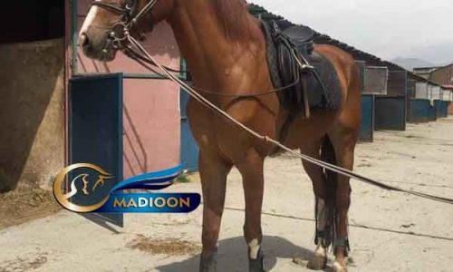 خرید اسب و فروش اسب_ اسب دوسرخارجی