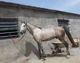 خرید اسب و فروش اسب_اسب نریان