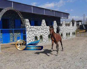خرید اسب و فروش اسب_ پدرو