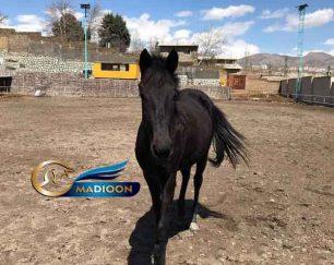 خرید اسب و فروش اسب_ کره مادیان یک سر خارجی