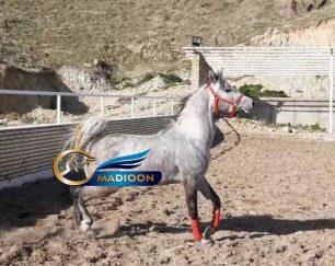 خرید اسب و فروش اسب_ بیتا ال ناصر