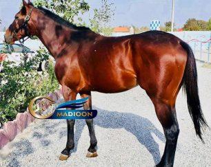 خرید اسب و فروش اسب_نریان دوخون