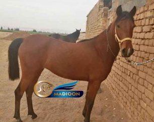 خرید اسب و فروش اسب_ کره مادیان دره شوری