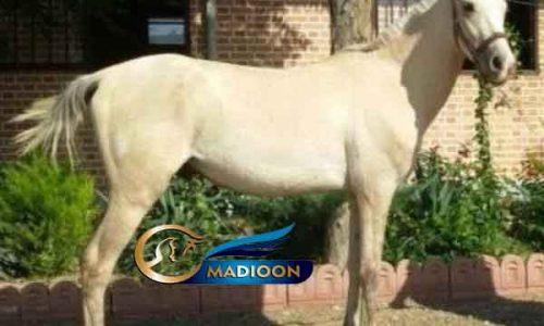 خرید اسب و فروش اسب_ اورست