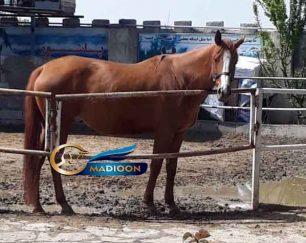 خرید اسب و فروش اسب_ مادیان آبستن
