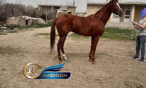 خرید اسب و فروش اسب_اسب نریان کورسی