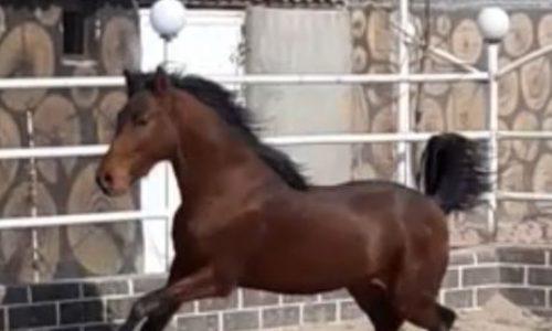 خرید اسب و فروش اسب_اسب کرد