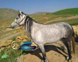 خرید اسب و فروش اسب- نجاد