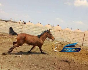 خرید اسب و فروش اسب_نریان دوساله