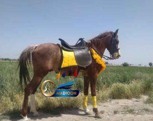خرید اسب و فروش اسب_اسب دره شوری اصیل