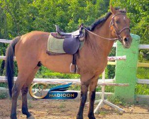 خرید اسب و فروش اسب_ اسب دوخون تروبرد