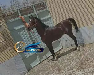 خرید اسب و فروش اسب_ نریان دره شوری