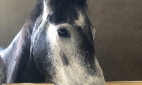 خرید اسب و فروش اسب_پریماه