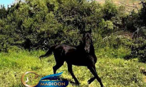 خرید اسب و فروش اسب_ اسب نژاد عرب کرد