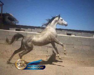 خرید اسب و فروش اسب_بویکا اشیرف