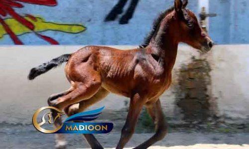 خرید اسب و فروش اسب_ کره مادیون ترکمن