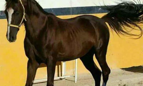 خرید اسب و فروش اسب_ سیلمی عرب خالص ایرانی(ققنوس)