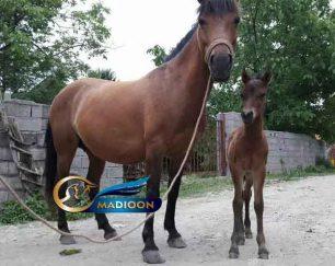 خرید اسب و فروش اسب_ فروش مادیون و کره اسب