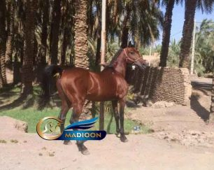 خرید اسب و فروش اسب_ نریان نژاد بومی