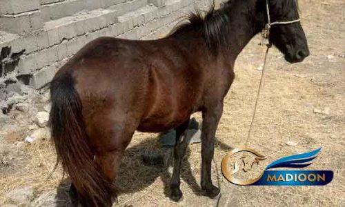 خرید اسب و فروش اسب_ کره اسب عرب