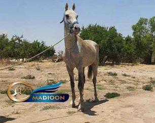 خرید اسب و فروش اسب_ سیلمی توسکا