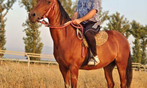 خرید اسب و فروش اسب_ ورونا