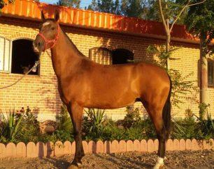 خرید اسب و فروش اسب_ آیلر