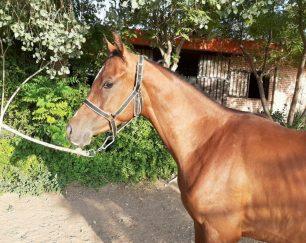 خرید اسب و فروش اسب_پادرا