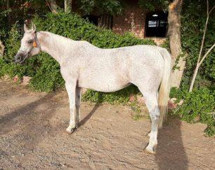 خرید اسب و فروش اسب_ZOSTERA